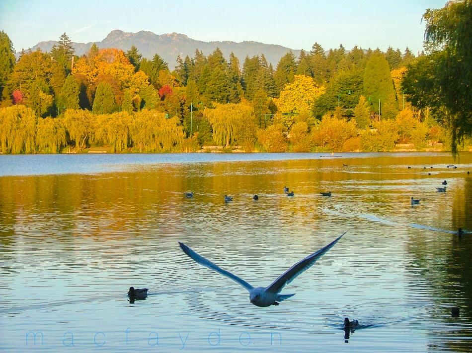 lost lagoon seagull2